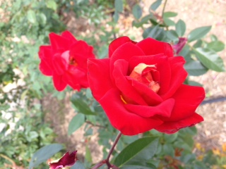 Red_roses_for_you