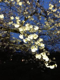Sakura_sakura