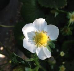 Small_white