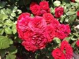 Cute_roses_2
