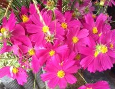 Pink_pink_cosmos